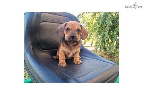 pug and dachshund mix for sale suwanee ga pug dachshund mix meet kate a for adoption m5x eu