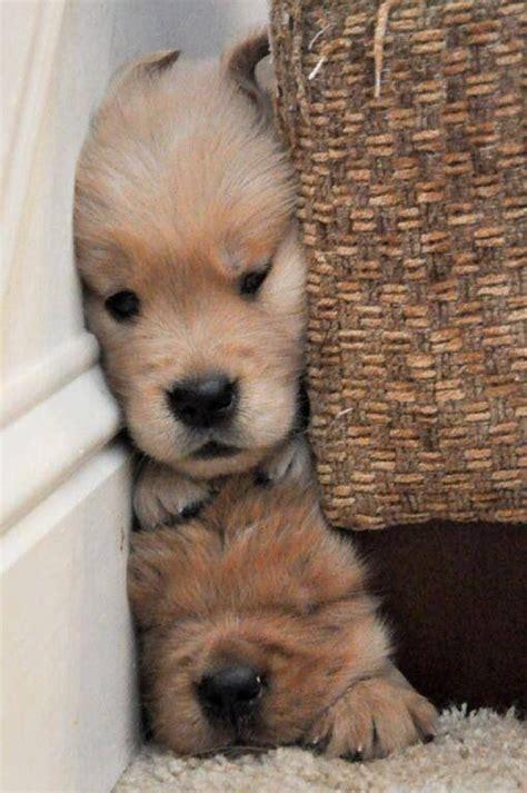 golden retriever puppies doing things best 25 golden retriever puppies ideas on retriever puppy golden puppy