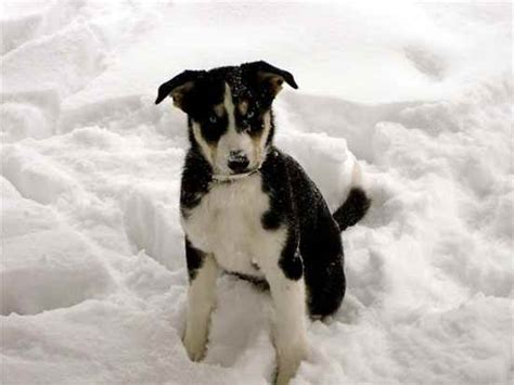 ausky puppies ausky designer dogs breeds picture