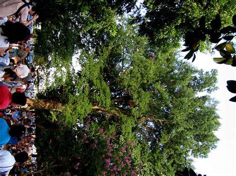 carrboro nc  weaver street sacred tree photo