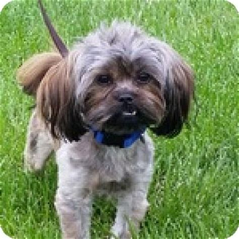yorkie shih tzu mix for adoption wheaton il shih tzu yorkie terrier mix meet gerald a for adoption
