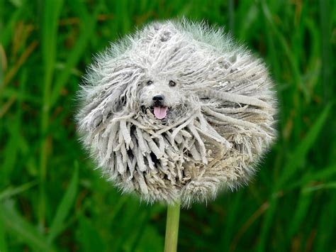PsBattle: Jumping Puli dog with a super shaggy coat