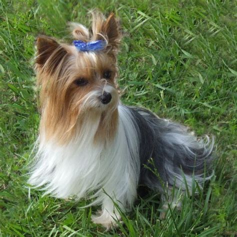 want to breed my yorkie pictures of groomed yorkies search results hairstyle galleries