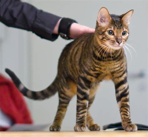 toyger cat toyger wikipedia