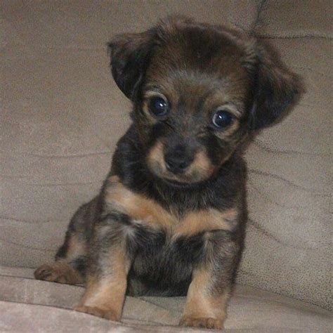 pomeranian dachshund mix for sale puppys i want and ems on