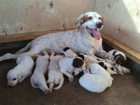 english setter dog for sale registered english setter puppies for sale
