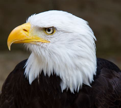 Headed Eagle bald eagle front