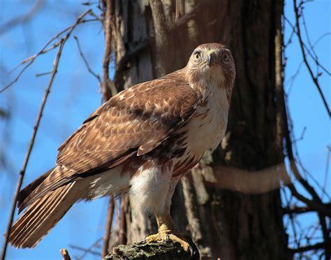type of hawks in tn tailed hawk