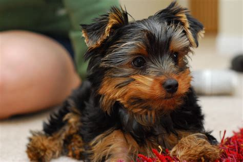 buying a yorkie puppy how to buy a terrier
