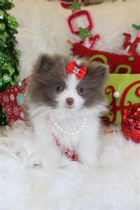micro teacup pomeranian puppies for sale in nc teacup pomeranian puppies for sale in nc zoe fans baby animals
