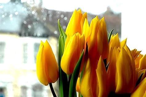 tulipano fiore significato significato dei fiori tulipano significato fiori i