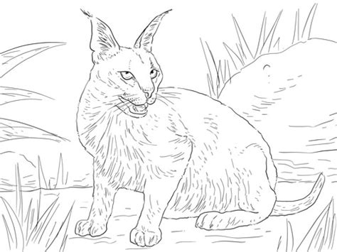 coloring pictures of wild cats caracal desert wild cat coloring page super coloring