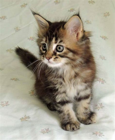 cats breeders breeders view advert tassare maine coon cats