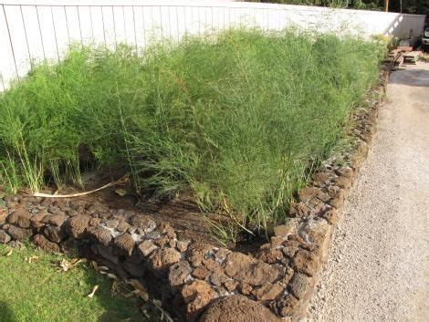 asparagus bed pin by dianna on outdoor pinterest