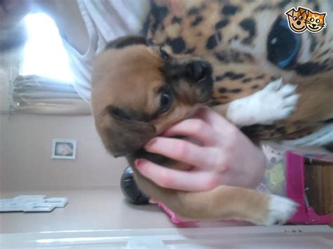 how much are pug puppies uk jug puppies much like pug norwich norfolk pets4homes