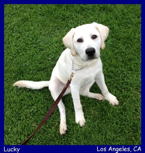labrador puppies for sale in los angeles labs pups labs to love labradors breeder yellow labs black labrador puppies