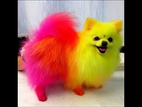 how to pomeranian dogs pomeranian dogs