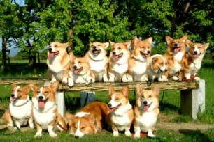 how many corgis does the 20 corgi gifs that are weirdly relatable