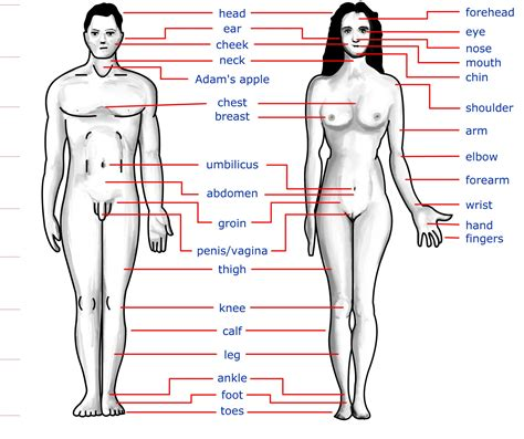 sections of body human body part images male and female diabetes inc