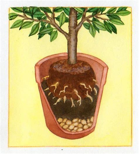 Cultiver Chignons De by Cultiver Des Agrumes En Pots Pratique Fr
