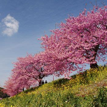 pink weeping cherry tree growing tree fast growing and cherry tree