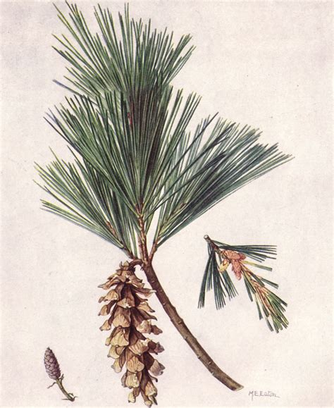 file white pine ngm xxxi p510 jpg wikimedia commons
