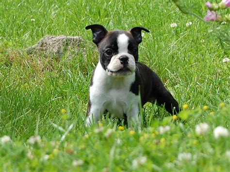 boston terrier pictures boston terrier puppy pictures puppy pictures and information