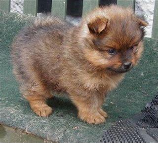 Pomeranian Shed by Pets Pomeranian