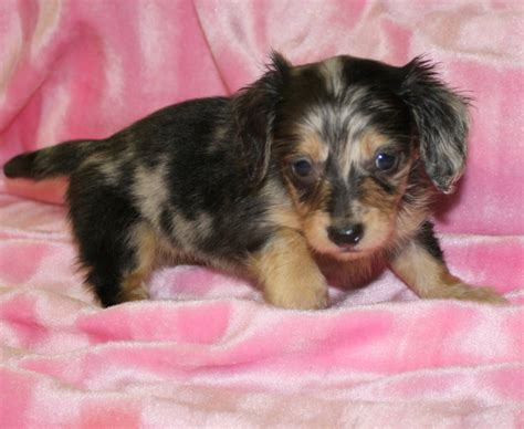 micro mini dachshund puppies for sale dachshund puppies for sale nc dachshund puppies carolina miniature dachshunds