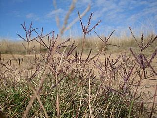 couch grass wiki file couch grass 3437031055 jpg wikimedia commons