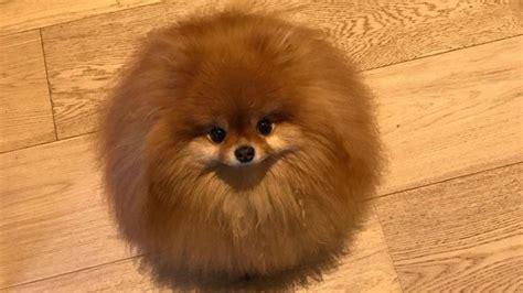 pomeranian caracteristicas top 5 mundial de perros bichon maltes