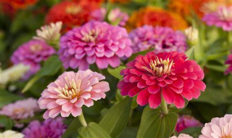 zinnia fiore zinnia il fiore spaziale www stile it