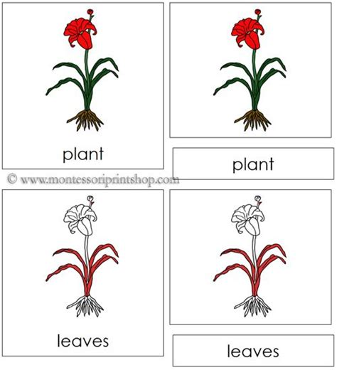 montessori materials flower nomenclature cards age 3 to 6 plant nomenclature cards red 6 parts of the plant in 3