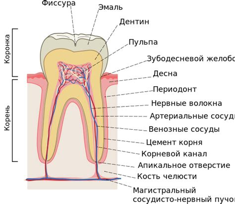 cross section of tooth file cross sections of teeth ru svg wikimedia commons