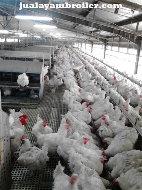 Jual Bibit Ayam Broiler Di Bandung jual ayam broiler di taman mini jakarta timur jual ayam
