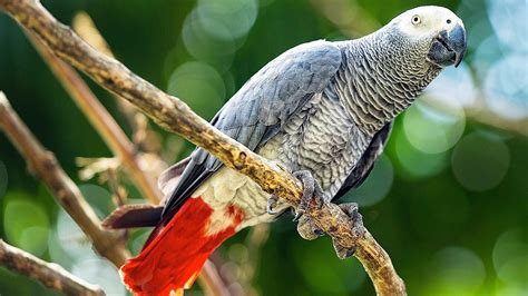wallpaper grey birds african grey parrot background photos hd wallpaper