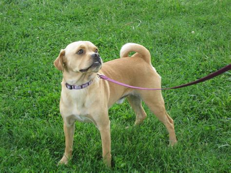 pug and labrador mix pug and beagle mix