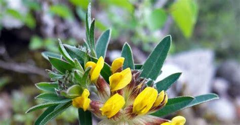 fiori gialli nome in nome dei fiori vulneraria fiori gialli ed evocativi
