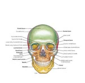 anatomi sistem moskuleskeletal sinta ners