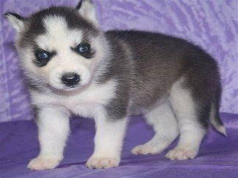 Husky Puppies lovely pets siberian husky puppies gallery