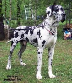 great dane colors harlequin harlequin great dane puppies ollada arlekin antey