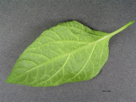 plant leaf diseases pepper oedema signs symptoms umaine cooperative