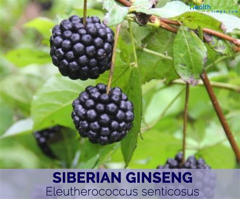 Siberian Ginseng siberian ginseng facts and health benefits