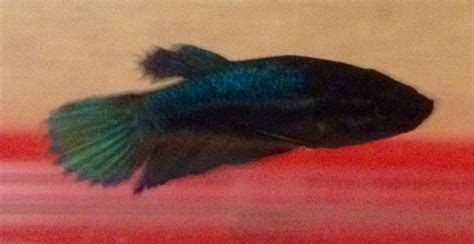 beby bett baby betta fish images