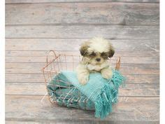 petland puppies for sale 1000 images about our petland novi puppies on puppies for sale in