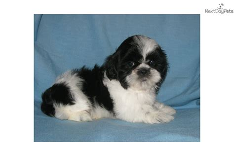 shih tzu puppies iowa shih tzu puppy for sale near southeast ia iowa f230a8a6 01e1