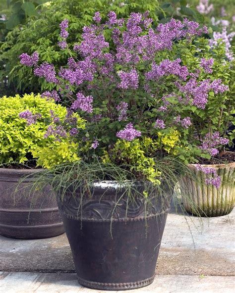 lilac flowering shrubs flowering shrub hybrids add to gardeners choices for