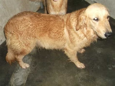 golden retriever adults for sale golden retriever for sale for sale adoption from penang ayer itam adpost