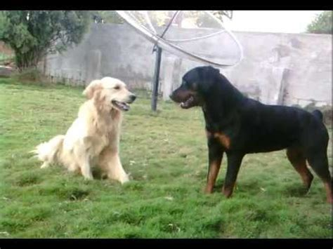 golden retriever vs german shepherd fight rottweiler and golden retriever tug of war funnydog tv