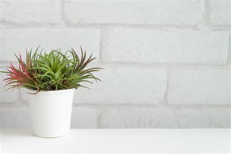 tanaman  mudah dirawat  rumah properti liputancom